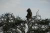 Baboon in a tree, Masaimara, Kenya