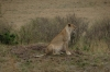 Lion with cubs hunting, Masaimara, Kenya