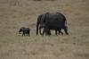 Elephants, Masaimara, Kenya