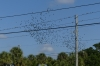Starlings on the wires outside the Dolphin Beach Resort St Pete FL