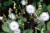 Dandelion seed posds, My Mison, Miyajima Island, Japan