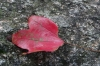 First red autumn leaf, Momijidani Park, Miyajami Island, Japan