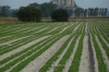 Mont St Michel from a field of lettuces