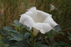 Datura or gypsum weed (hallucinogenic). Monument Valley, AZ