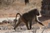 Baboon. Samburu National Park, Kenya