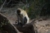 Vervet monkeys.  Samburu National Park, Kenya