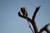 Hooded Vulture. Buffalo Springs National Park, Kenya