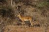 Giraffe Gazelles, Buffalo Springs National Park, Kenya