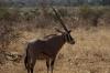 Oryx, Buffalo Springs National Park, Kenya