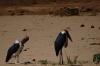 Marabou stork. Samburu National Park, Kenya