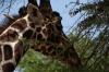 Giraffes, Samburu National Park, Kenya