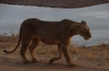 Lions heading home. Samburu National Reserve, Kenya