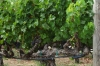 Trellising of vines is different here. Mondavi Vineyard, Napa Valley
