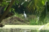 Great Egret, Negril Royal Palm Reserve JM