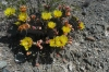 Cactus flowers at Lookout at Culberson County near Van Horn TX