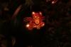Mouse, Jack-o-Lantern Blaze, van Cortlandt Manor, Croton-on-Hudson NY