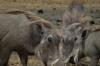 Warthogs, Ngorongoro Crater, Tanzania