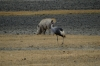 Warthog and Crowned Crane, Ngorongoro Crater, Tanzania