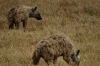 Hyenas, Ngorongoro Crater, Tanzania