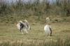 Pelicans, Ngorongoro Crater, Tanzania