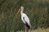 Stork, Ngorongoro Crater, Tanzania