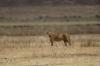 Four lions stalking, Ngorongoro Crater, Tanzania