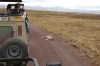 Lionesses sleeping - it must have been a good meal, Ngorongoro Crater, Tanzania