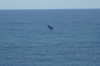 Whale watching at Head of the Bight near the Nullarbor Roadhouse SA