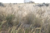 Grass, blowing in the breeze, was common across the Nullarbor - Nullarbor Roadhouse