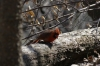 Red crested bird in Hallett Nature Sanctuary, Central Park, New York US