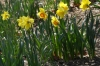 Daffodils, Central Park, New York US