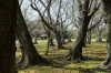Cherry Tree Grove, Korakuen Gardens, Okayama, Japan
