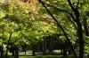Maple grove, Korakuen Gardens, Okayama, Japan