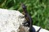 Lizard, Outeniqua Pass, near George, South Africa