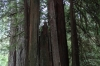 Giant redwood trees in the Prairie Creek Redwoods State Park