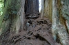 Big Tree, 1,500 year old Redwood in Prarie Creek State Park