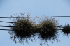 Bromeliads that grow on electric wires. Started by bird droppings?