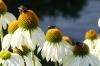 Flowers and bees in Pärnu EE