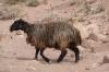 Petra - sheep