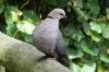 Barbary Dove, Birds of Eden Sanctuary, Plettenberg Bay, South Africa