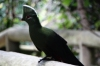 Livingston's Turaco, Birds of Eden Sanctuary, Plettenberg Bay, South Africa