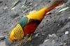 Golden Pheasant, Birds of Eden Sanctuary, Plettenberg Bay, South Africa