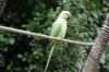 Indian Ringneck Parakeet, Birds of Eden Sanctuary, Plettenberg Bay, South Africa