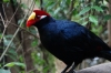 Violet Taraco, Birds of Eden Sanctuary, Plettenberg Bay, South Africa