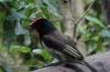 Black Collared Barbet, Birds of Eden Sanctuary, Plettenberg Bay, South Africa