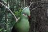 Knysna Lourie, Birds of Eden Sanctuary, Plettenberg Bay, South Africa