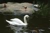 White Swan, Birds of Eden Sanctuary, Plettenberg Bay, South Africa
