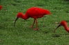 Scarlet Ibis, Birds of Eden Sanctuary, Plettenberg Bay, South Africa