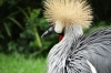 Crowned Crane, Birds of Eden Sanctuary, Plettenberg Bay, South Africa