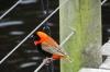 Northern Red Bishop. Birds of Eden Sanctuary, Plettenberg Bay, South Africa